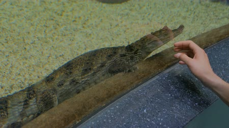 obojživelník : Small crocodile swimming in aquarium. Animal and nature concept
