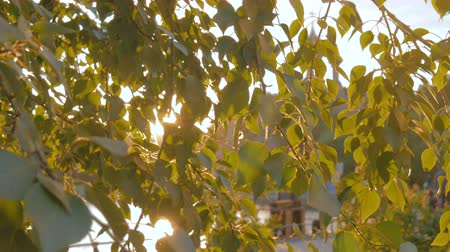 through leaves : Nature background with foliage. Sunset light, sun lens flares, golden hour