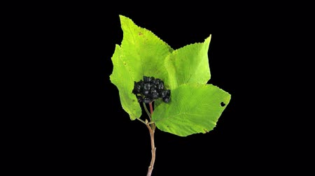 cserje : Time-lapse of drying Viburnum shrub leaves format with ALPHA transparency channel isolated on black background