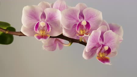 gratulací : Charming flowers of a violet orchid on a white background