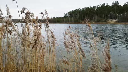 sepya : Reeds move on wind on the bank of the lake, autumn time. Slow motion.