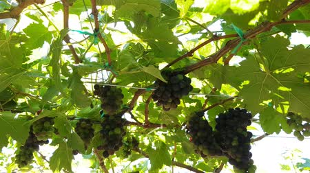 vinná réva : Juicy black grapes hang on a vine for making wine in vineyard in Phan Rang, Vietnam. Sunlight breaks through thick green foliage. Travel concept.