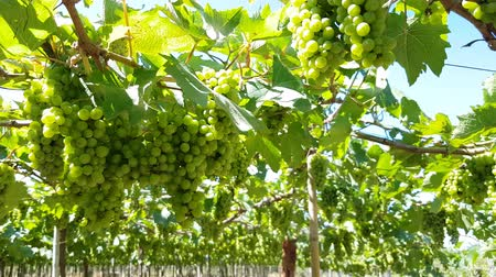 vinná réva : Green ripe grapes harvest on the vine for making wine in vineyard in Phan Rang, Vietnam. Close up. Summer sunny time. Dostupné videozáznamy