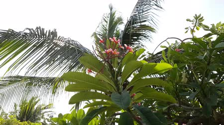 プルメリア : Branch of pink plumeria blossom in bright sun light. Coconut tree on background. Wind swings green leaves and beautiful flowers. Summer time. 動画素材