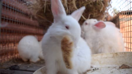 breeder : Close up of cute little white rabbit His paw licking in a wire cage. Stock Footage