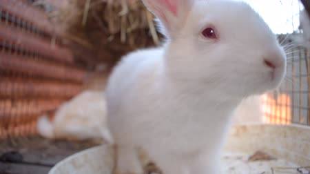 breeder : Close up of cute little white rabbit sniffing in front of camera in a wire cage. Slow motion.