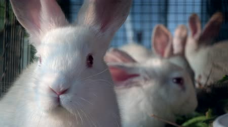 breeder : White rabbit inside the cage looking at camera close up. Stock Footage